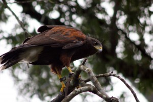Tango the Harris Hawk at the Houston Arboretum's HAWK WALK with live birds of prey!