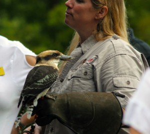 Kookaburra at the Houston Arboretum's special event HAWK WALK with Live Birds of Prey!
