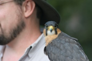 Cricket the Falcon at the Houston Arboretum's HAWK WALK with Live Birds of Prey!