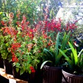 Texas Native Plant Sale