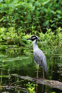 crested heron vertical smaller