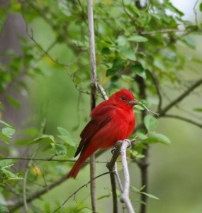 summer tanager migration