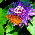 July 6, passionflower