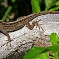 A New Lizard in Town - the Cuban Brown Anole