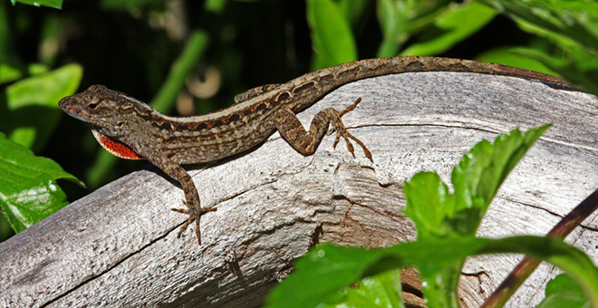 Cuban_Brown_Anole_