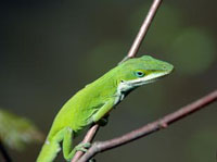 green_anole