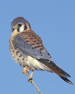 American Kestrel - Photo from Audubon.org