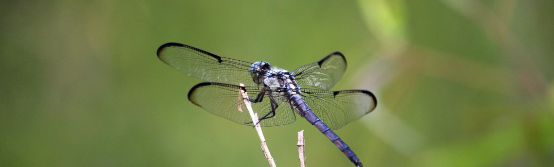 Dragonflies and Damselflies: Beasts and Beauties