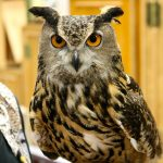 great_horned_owl-usfws