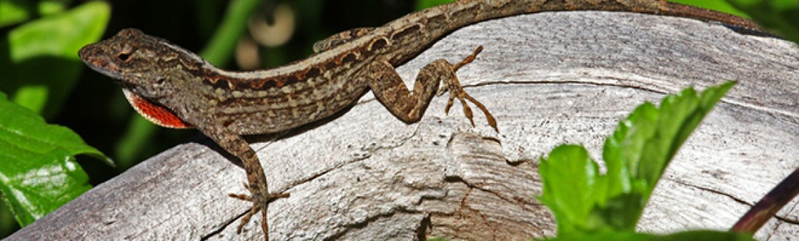 A New Lizard in Town – the Cuban Brown Anole