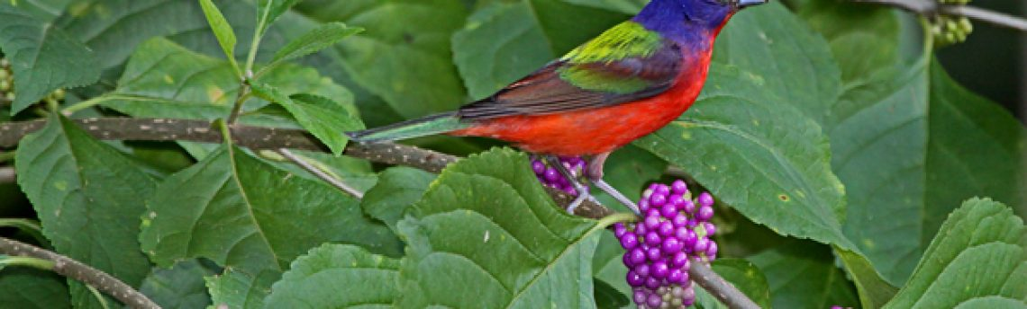 Attracting Birds with Native Plants